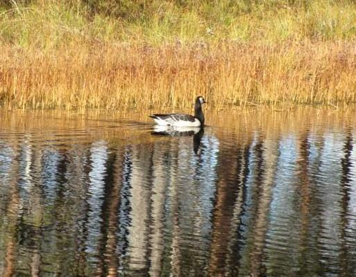 Canadian Barnacle Goose