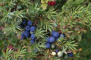 Among junipers in August