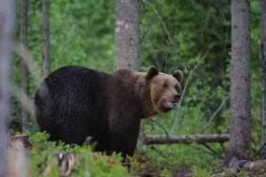 Brown Bear in Estonia in Alutaguse