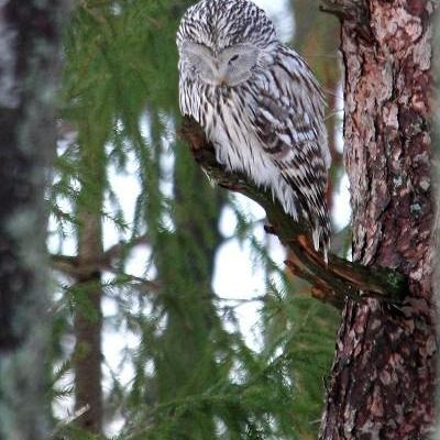 Ural Owl in Estonia