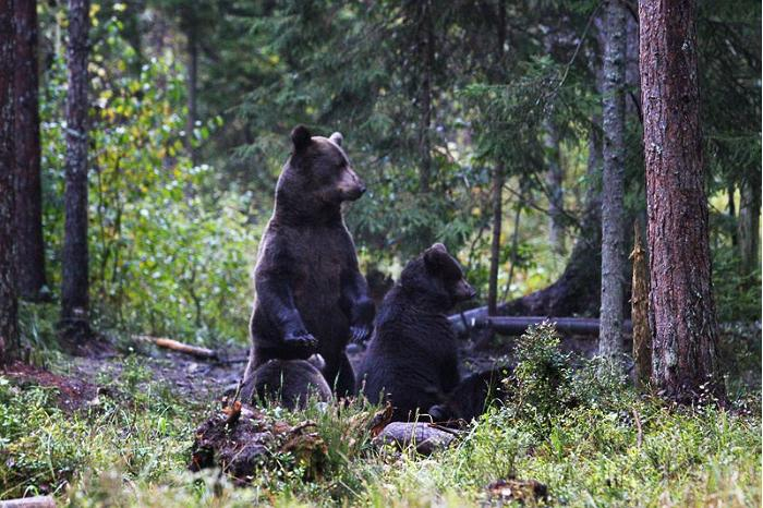 Brown bear family in Estonia in Alutaguse