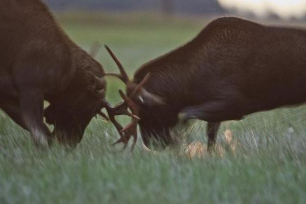 Elks fighting