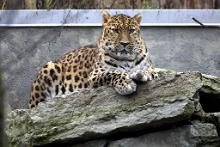 Watch the birth of Amur leopard cubs at Tallinn Zoo!