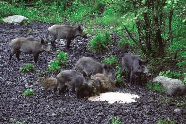 Wild boar with young