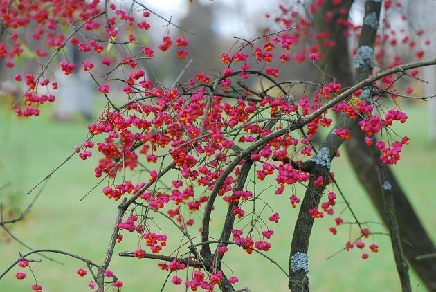 Spindle tree on the banks of the Mustjõe River