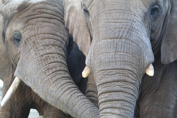 African elephants Fien and Draay