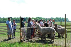 Alpaca farm – lovely and soft alpacas at the largest alpaca farm in Estonia!