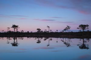 Reflection of the bog pines