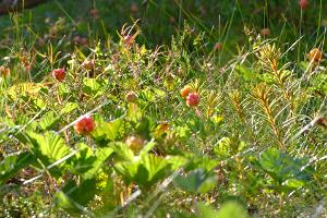 Cloudberries in Endla bog. Take a break during your canoe trip and enjoy the delicious berries!