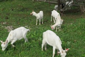 Visit to the goat farm at Konju manor