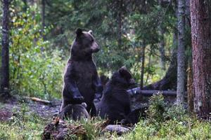Brown bear family in Estonia