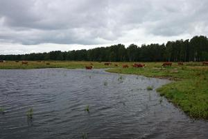 Observation towers and cows on the Pärnu coastal meadow