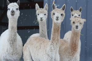 Christmas at Alpaca Land
