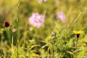 Dianthus superbus, Estonian natural dianthus in Väike-Pankri. Under protection!