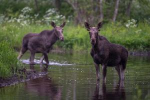 Elk Watching in Estonia