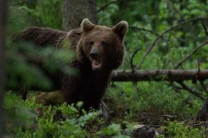 Alutaguse Forest Brown Bear and Wildlife Photography Hide