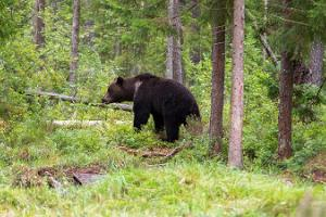 Bear-watching at Alutaguse