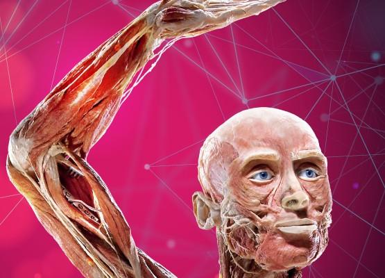 Exhibition of human bodies 'Body Worlds'