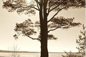 The pine trees on the beach at Võsu